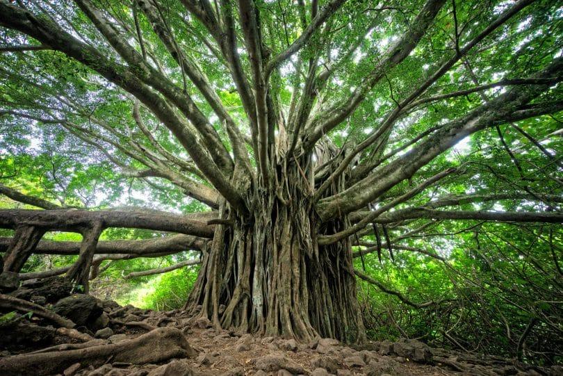 Árvore antiga com diversos galhos