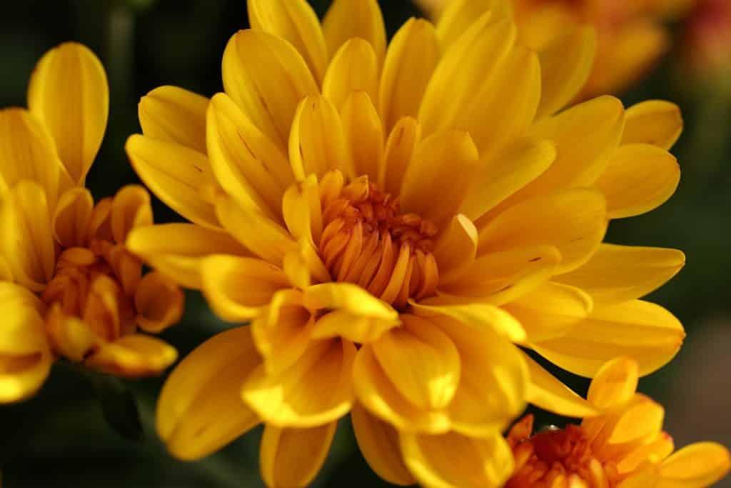 Imagem de um lindo crisântemo de cor amarela representando o significado da cor amarela na espiritualidade.