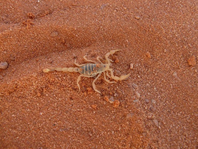 Imagem de um campo de areia avermelhado e sobre ele um escorpião de cor transparente.