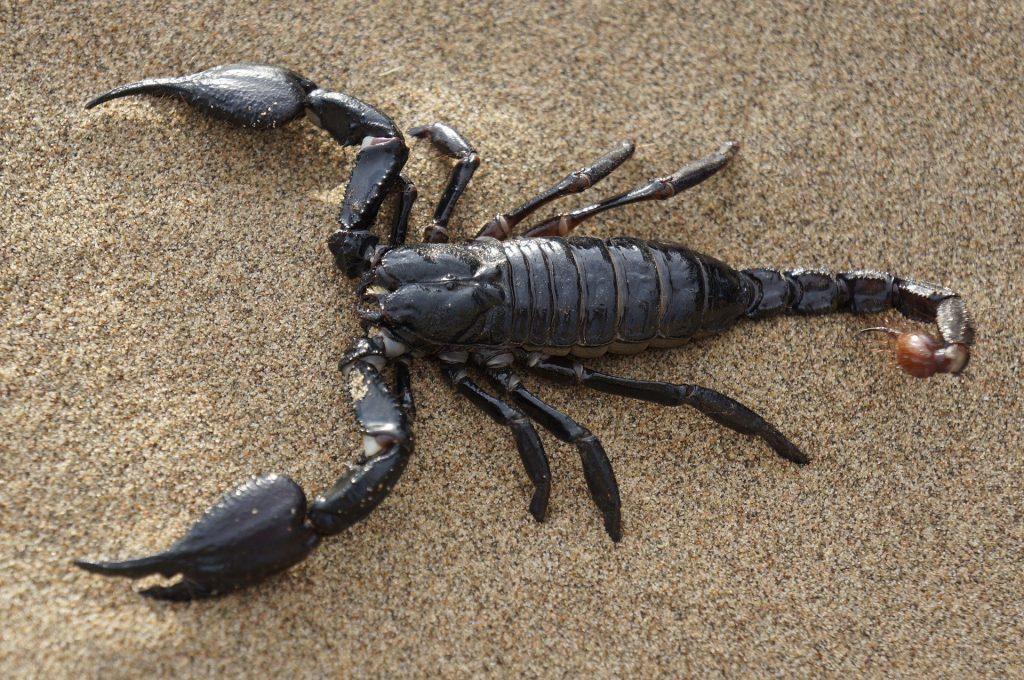 Imagem de um grande e preto escorpião no chão de areia.
