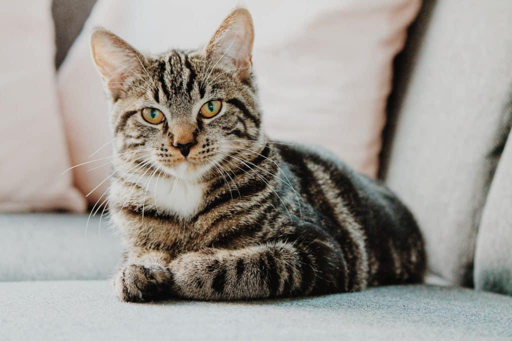 Gato marrom e cinza deitado num sofá.
