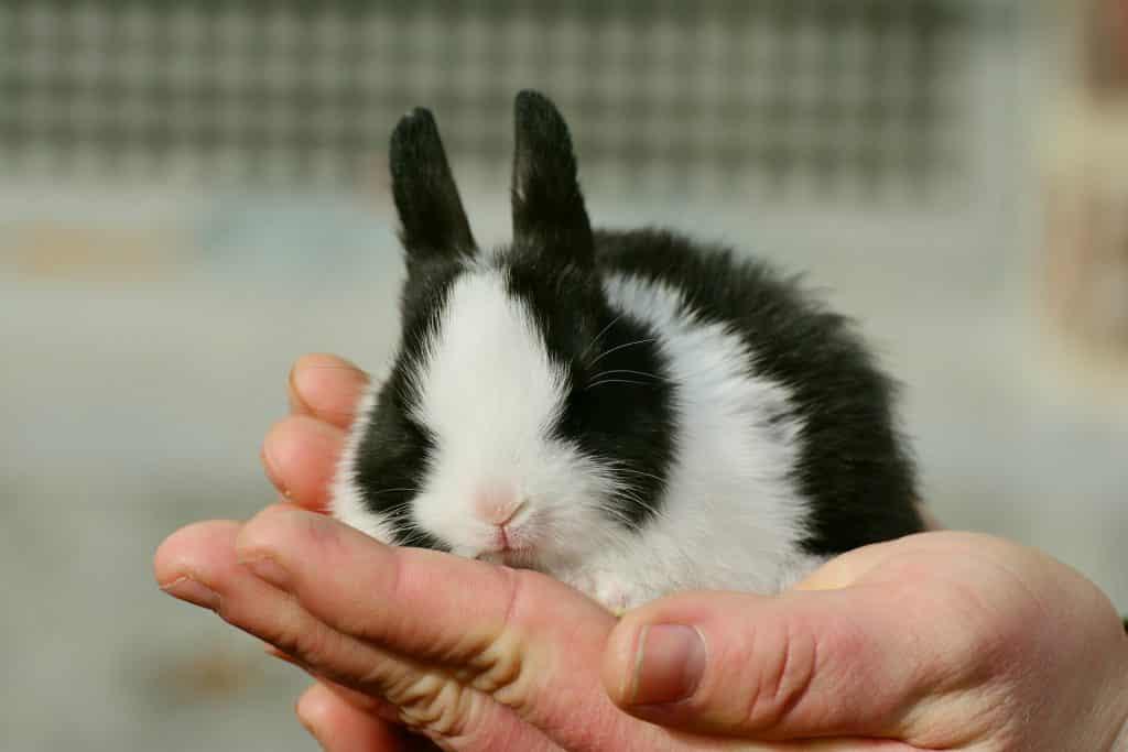 Imagem de um filhote de coelho nas cores preto e branco nas mãos e uma senhora.
