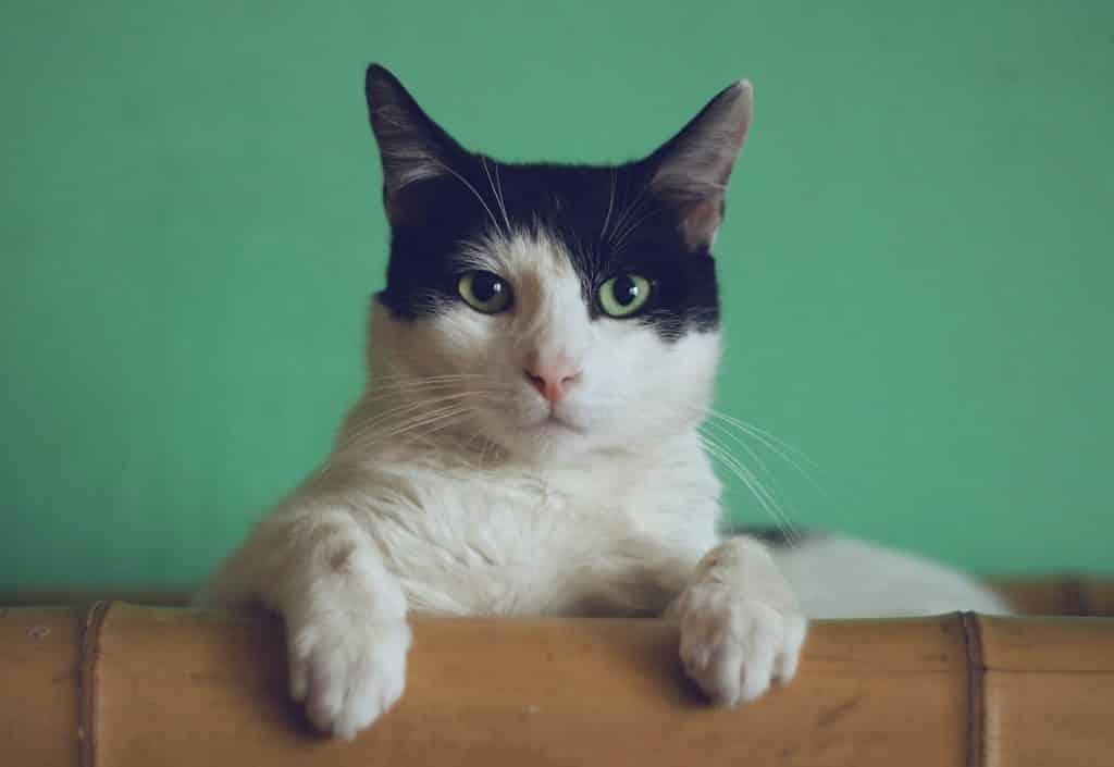 Gato preto e branco de olhos verdes.