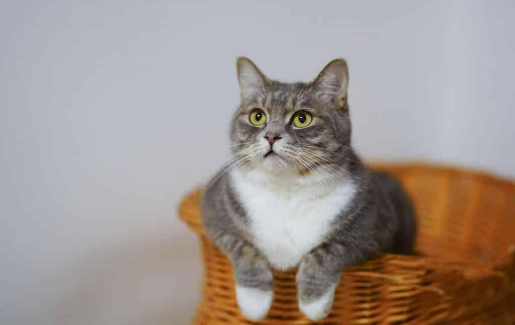 Gato rajado dentro de um cesto.