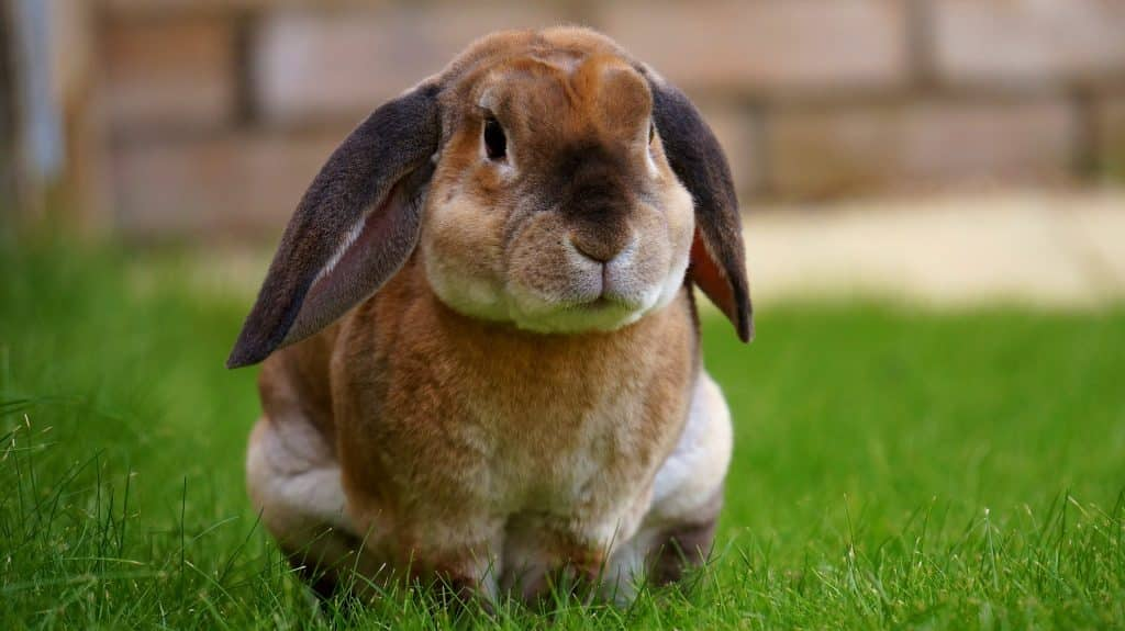 Imagem de um lindo e grande coelho de cores bege, branco e marrom.