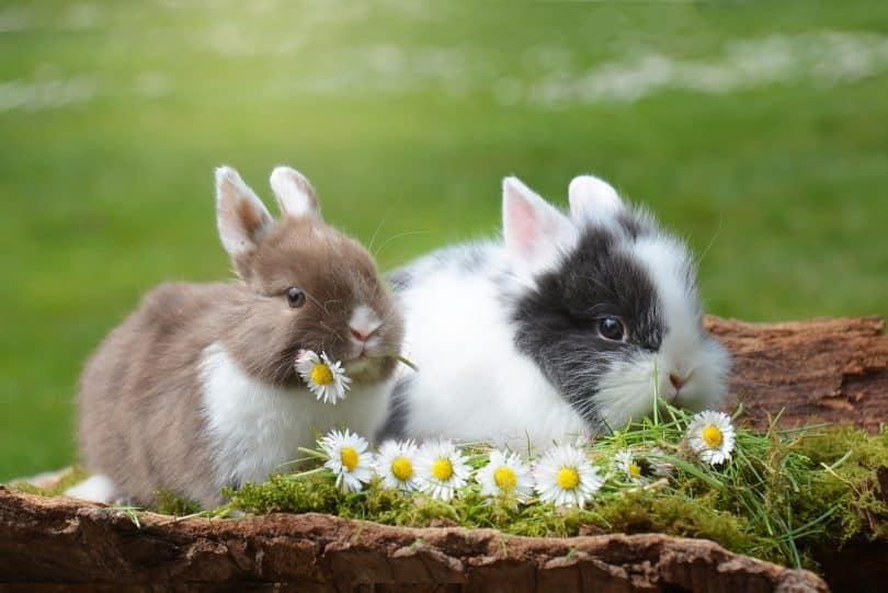 Imagem de dois coelhos, um bege e branco e o outro branco e cinza. Eles estão deitados em um gramado com algumas margaridas.
