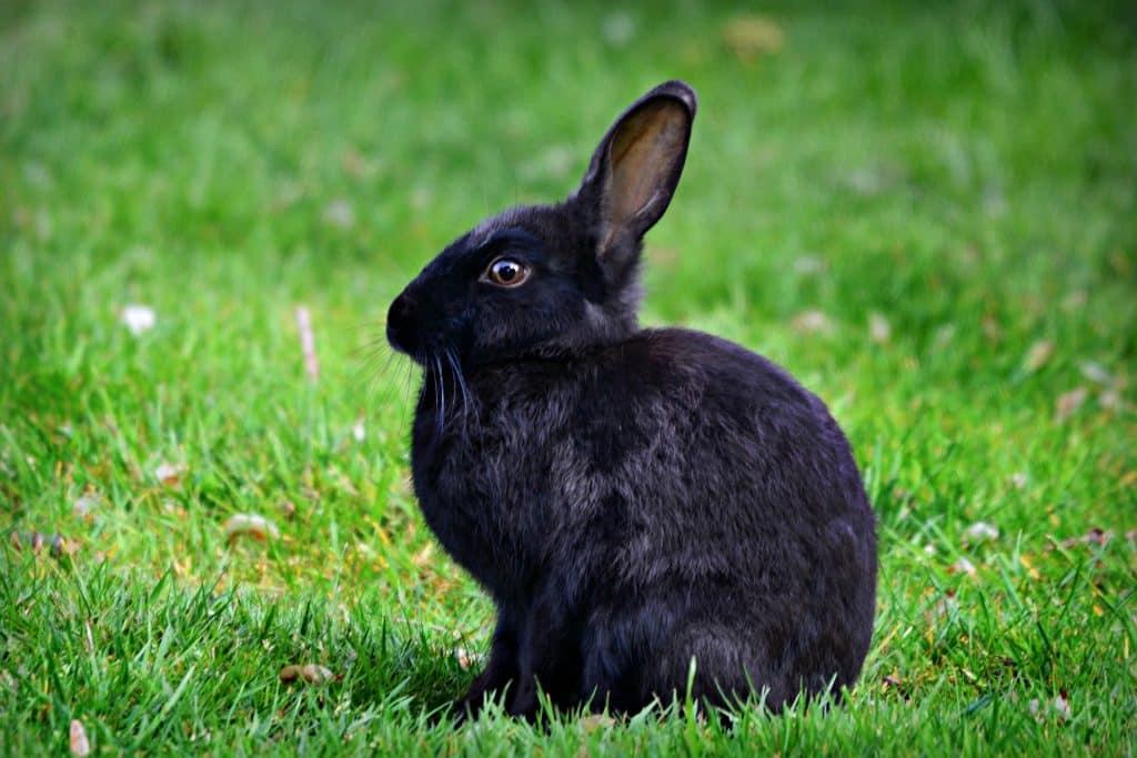 Imagem de um lindo coelho preto sentado no gramado.