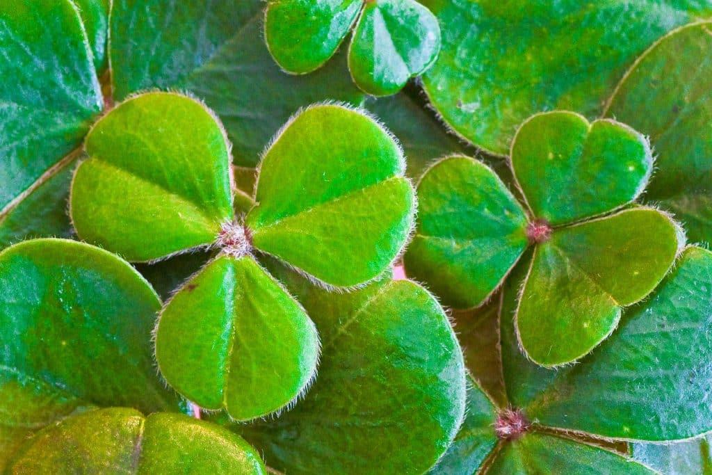 Imagem de vários trevos de três folhas na cor verde simbolizando o dia de São Patrício.