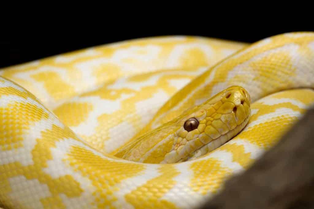 Imagem de uma cobra amarela e branca toda enrolada. Ela representa o sonho de quem está matando-a.
