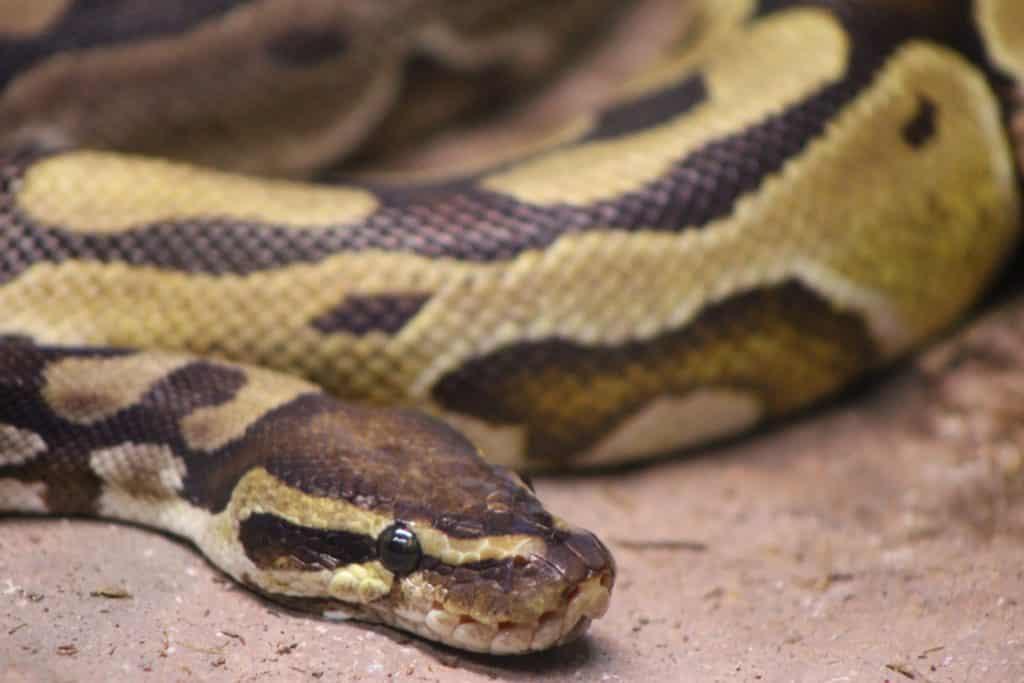 Imagem de uma serpente nas cores preto, branco e bege rastejando no chão de terra,