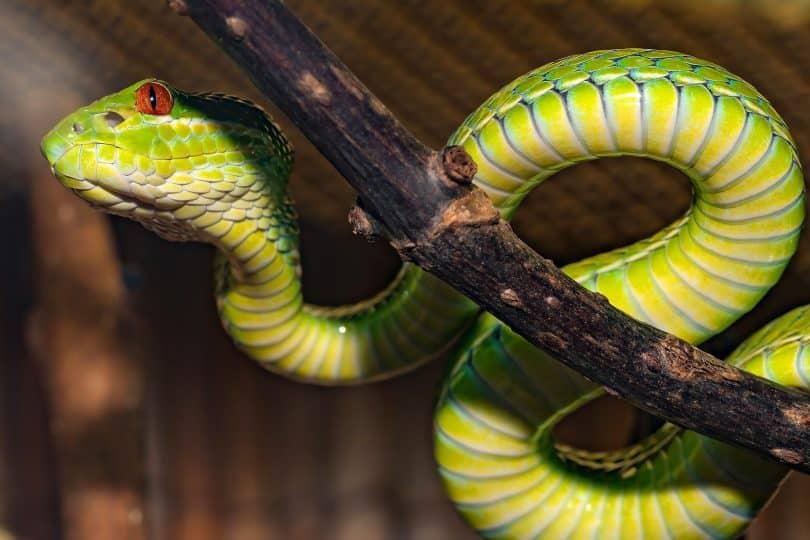 Imagem de uma cobra verde enrolada em um galho de árvore.
