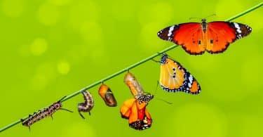 Representação das fases da vida de uma borboleta.