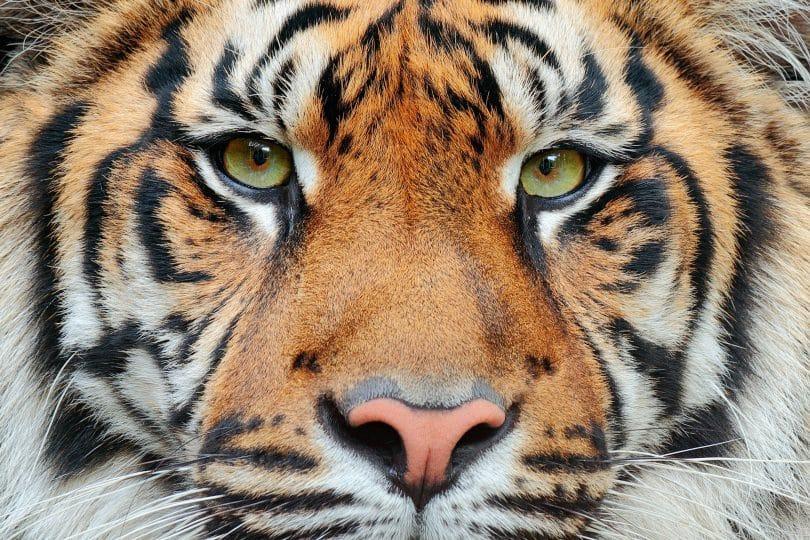Close no rosto de um tigre.