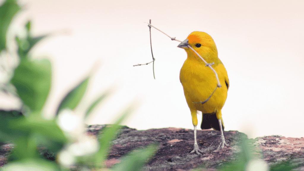 Pássaro amarelo com graveto no bico