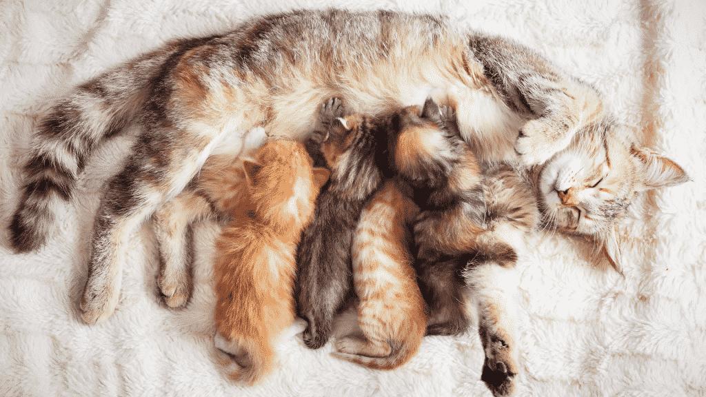 Gatinhos mamando na mãe