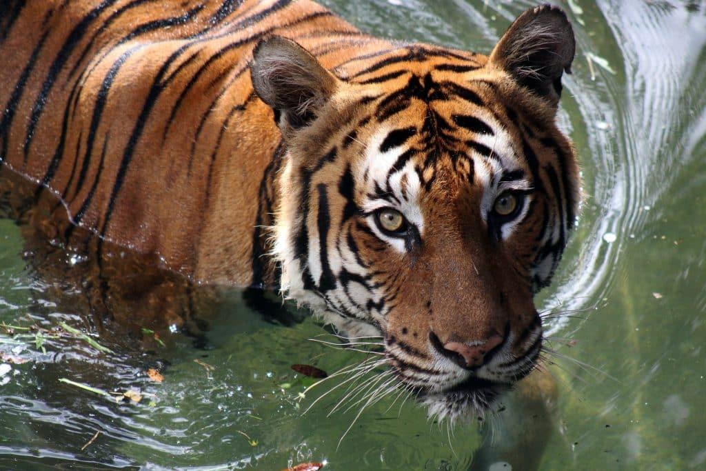 Tigre na água.