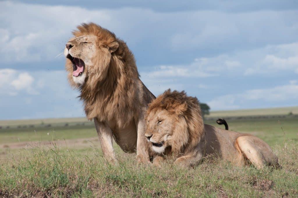 Dois leões lado a lado. Um está deitado, o outro erguido.