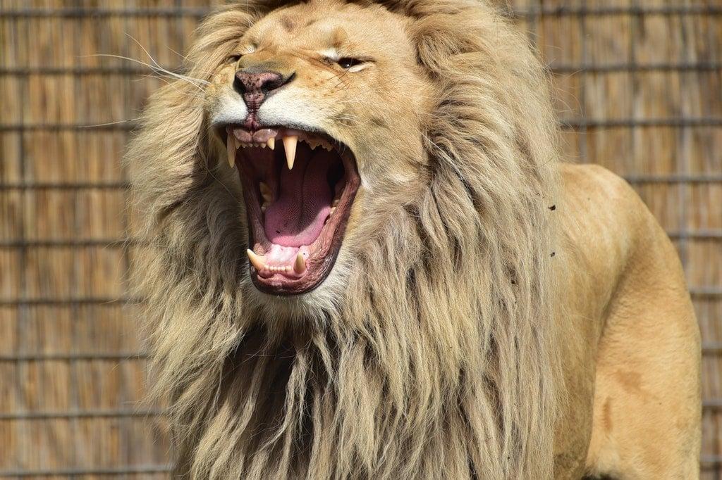 Leão rugindo.