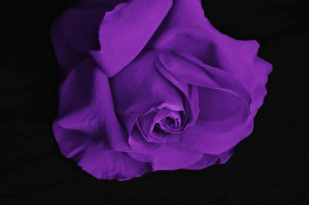 Imagem de fundo preto e em destaque uma rosa na cor roxa, representando o significado da cor roxa na quaresma.