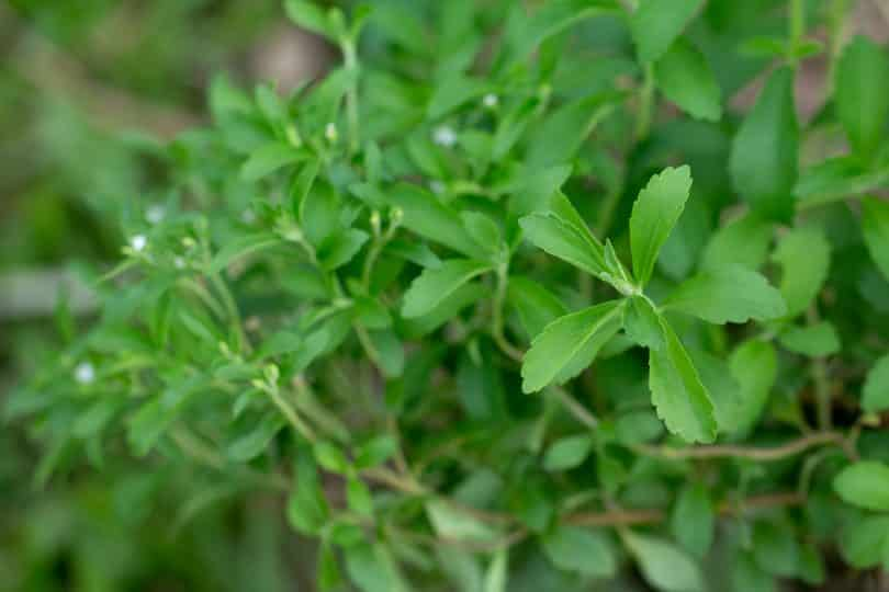 Planta Estévia