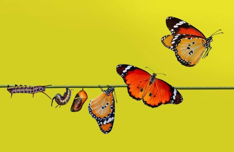 Evolução de borboleta.
