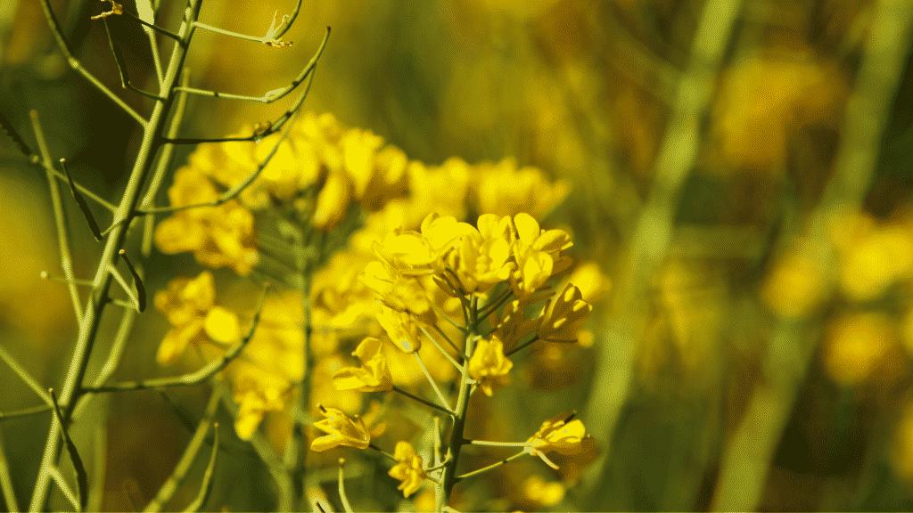 Campo de flor de mostarda