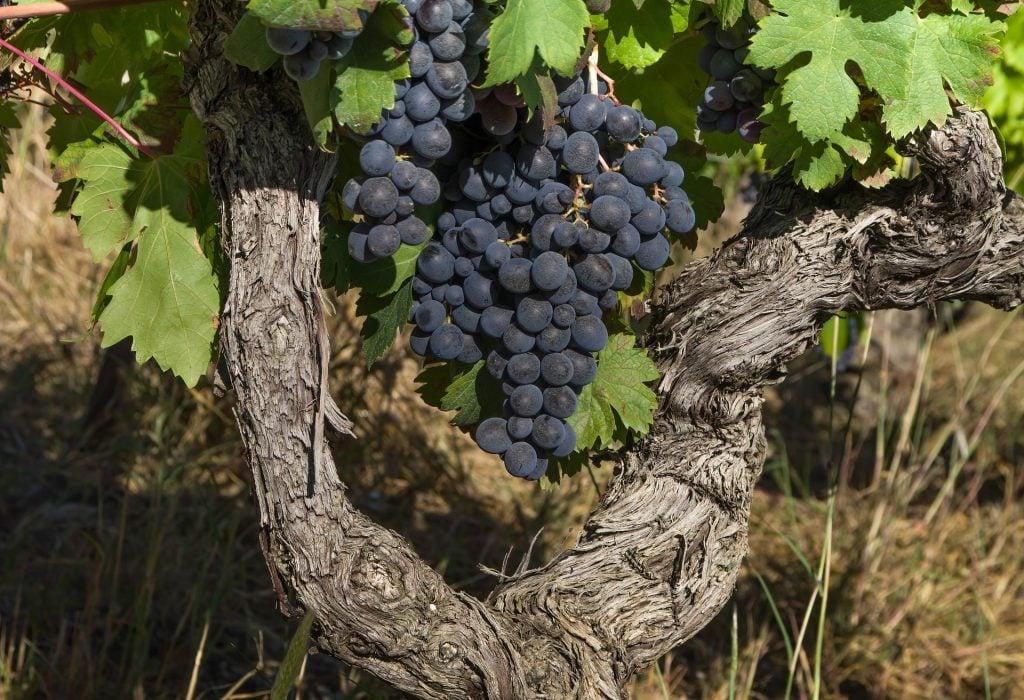 Imagem de três cachos de uva na cor roxa pendurados ainda na videira.