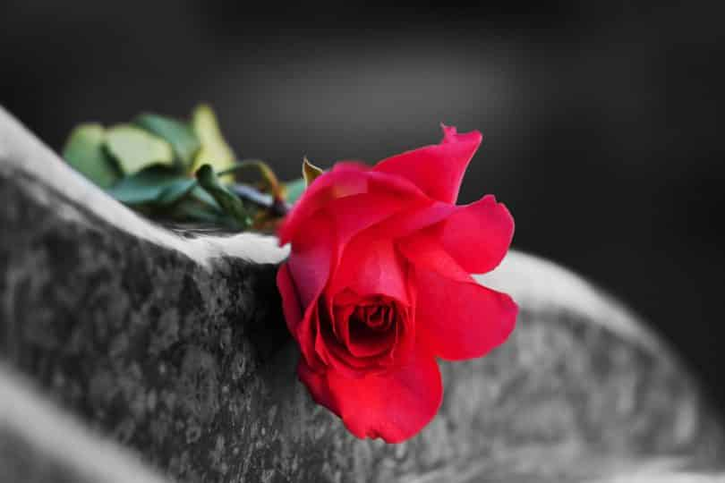 Rosa vermelha num túmulo.