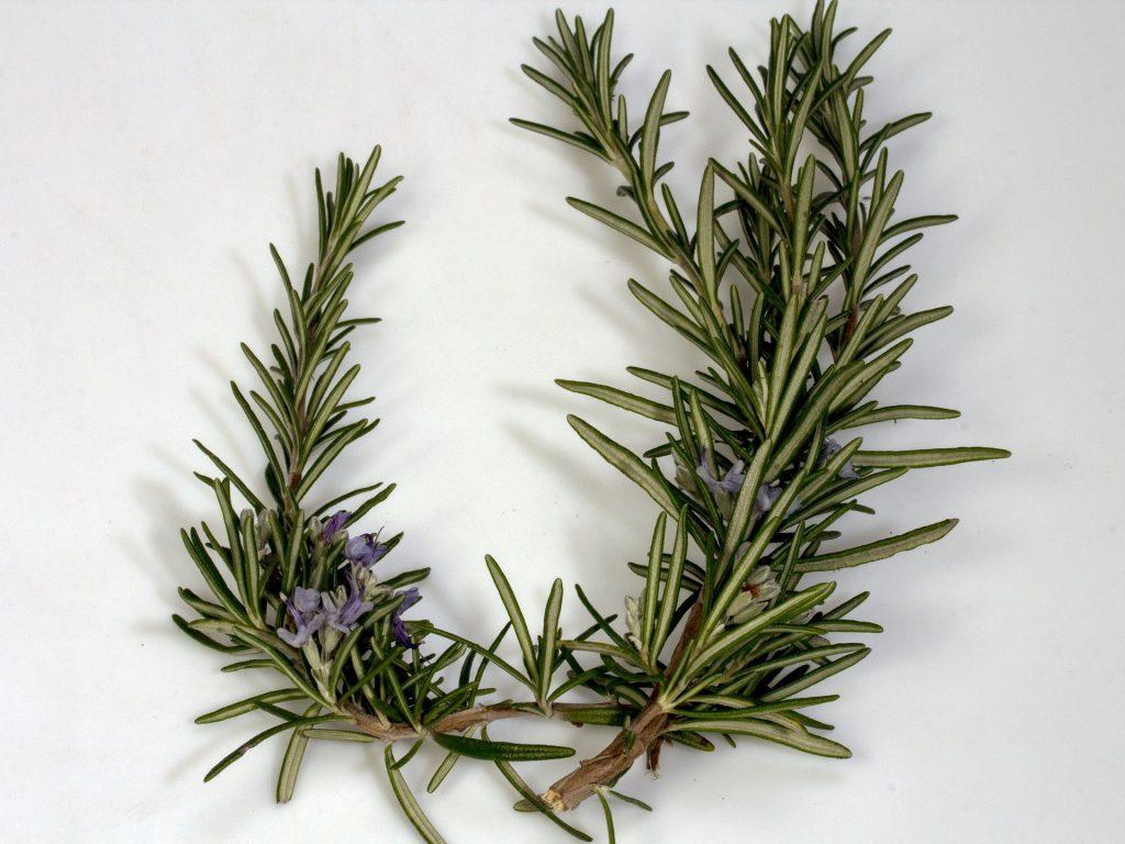 Imagem de fundo branco e em destaque dois lindos ramos de alecrim com pequenas flores na cor lilás.