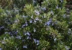 Imagem de um lindo e frondoso pé de alecrim todo florido com flores no tom azul claro.