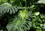 Folhas de costela-de-adão