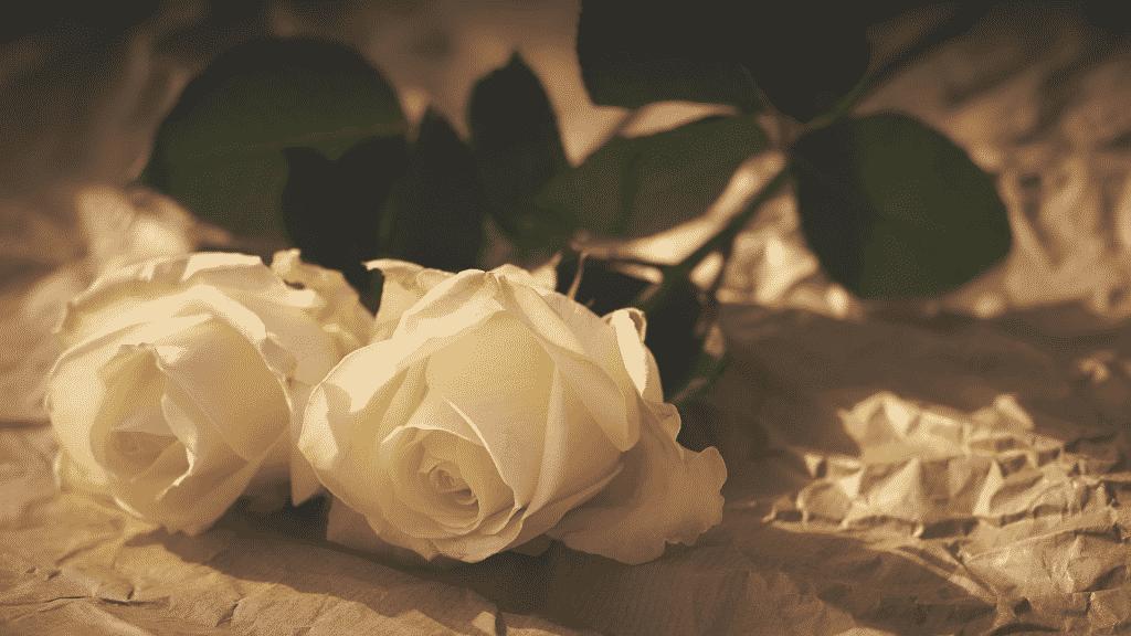 Duas rosas brancas