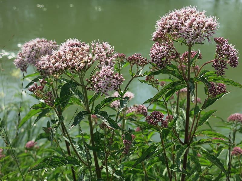 Flores de valeriana.