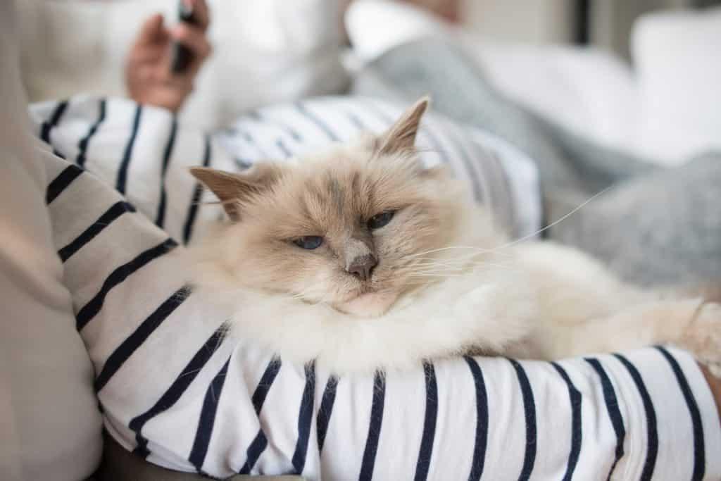 Gato branco deitado num travesseiro listrado.
