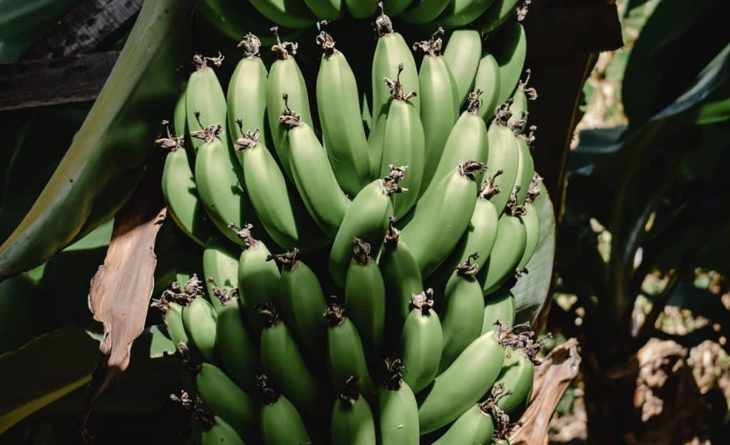 Cachos de banana verde em árvore.
