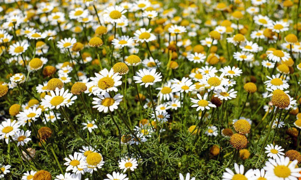 Campo de flores de camomilas.