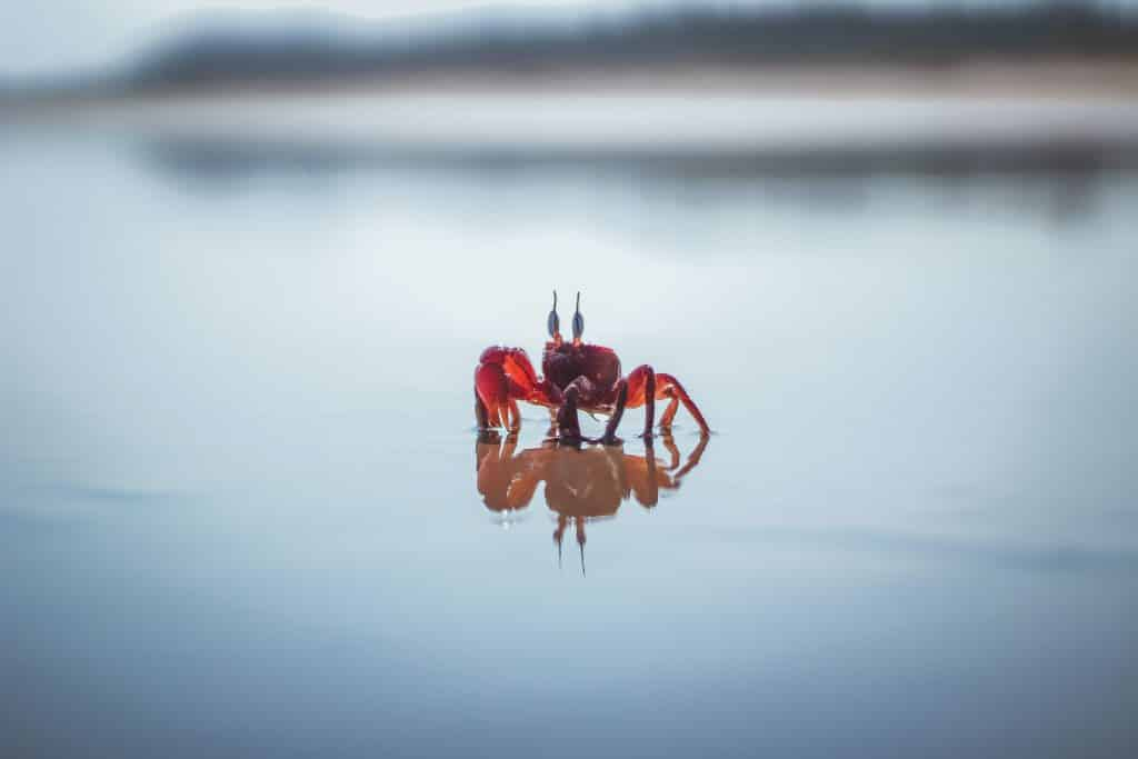 Caranguejo andando na praia
