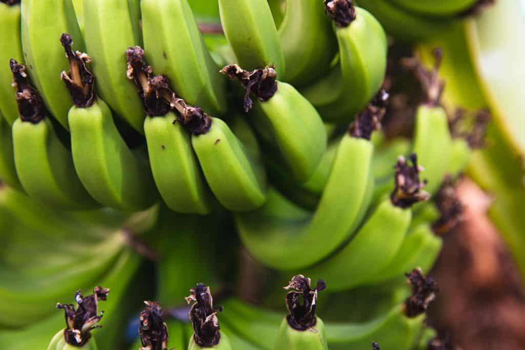 Banana verde.