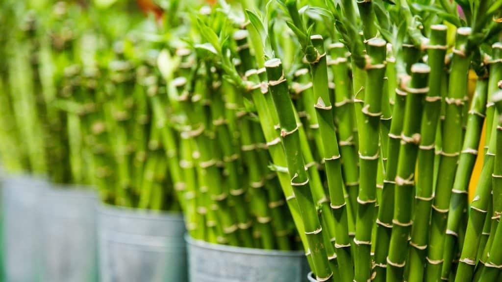 Lote de varas de bambu.