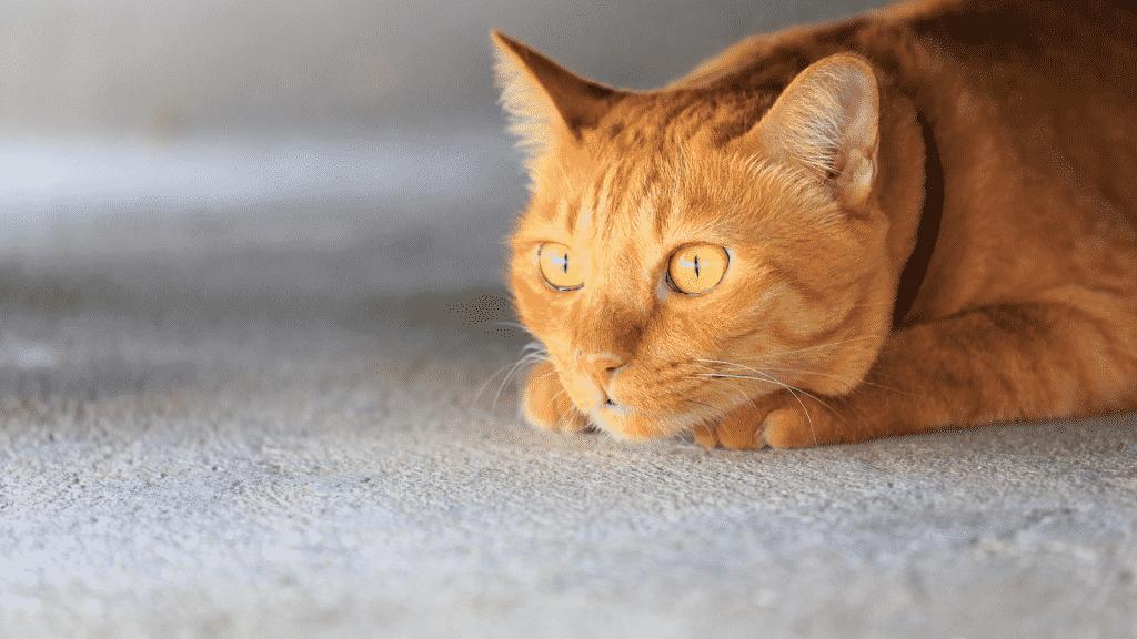 Imagem de um gato amarelo deitado