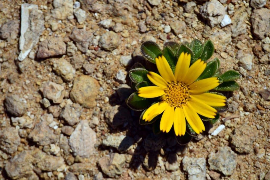 Flor-amarela que nasceu em terras secas