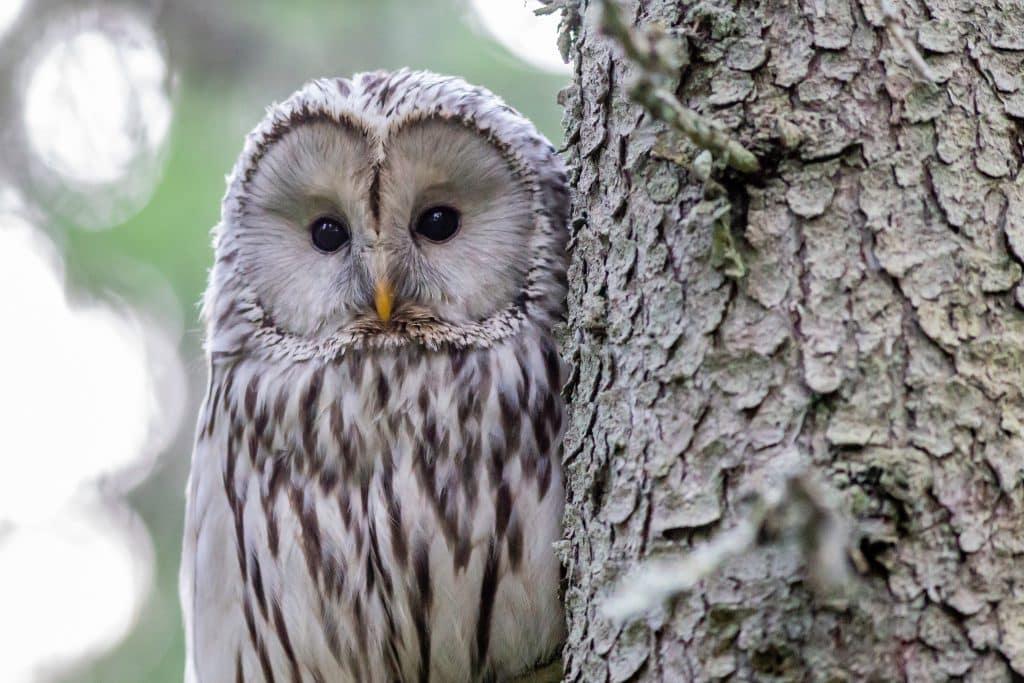 Coruja ao lado do tronco de uma árvore