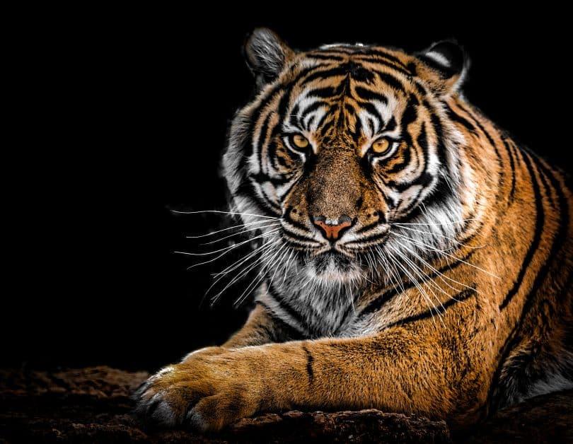 Tigre deitado com o plano de fundo escuro