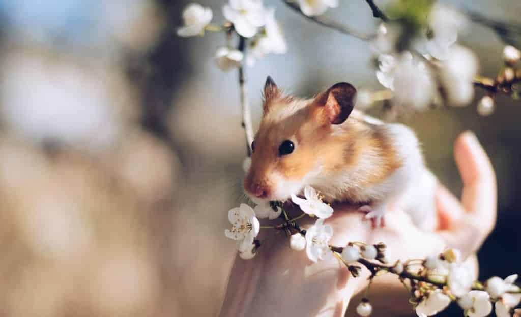 Hamster sobre mão de uma pessoa. Ele está próximo de flores em um galho.
