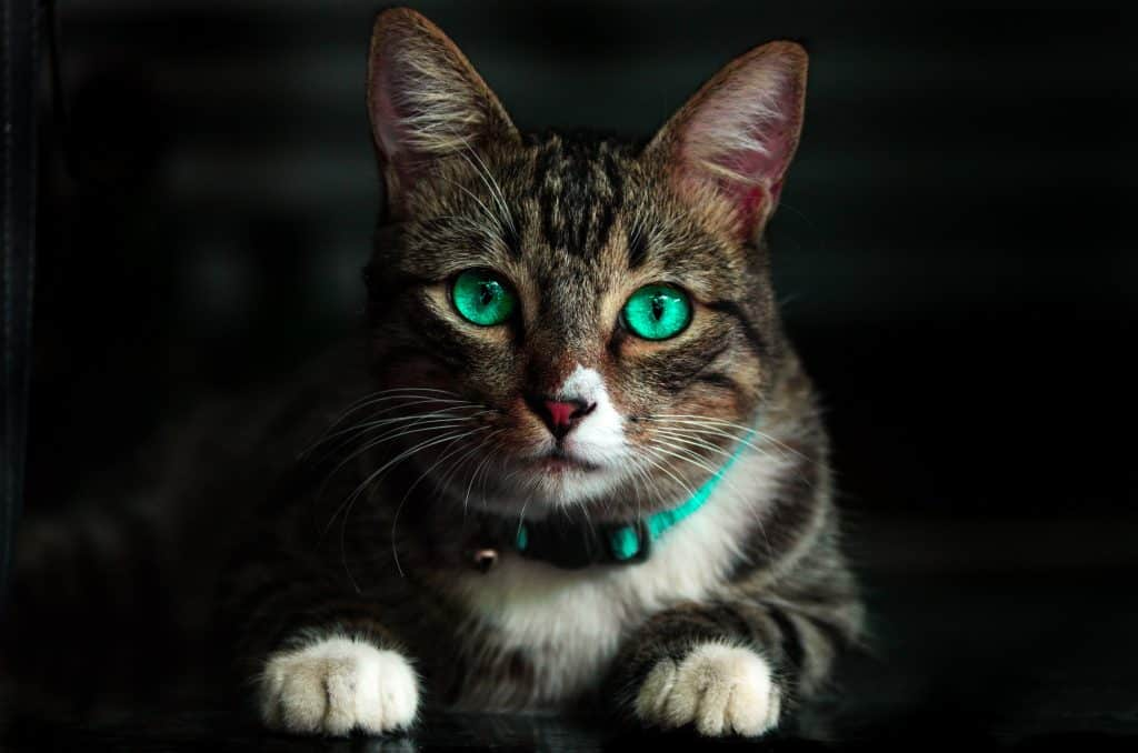 Gato malhado de olhos azuis