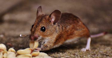 Pequeno rato comento grãos no chão.