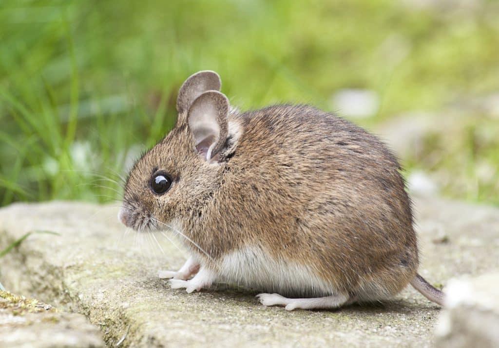Foto de um pequeno ratinho sentado em uma pedra.