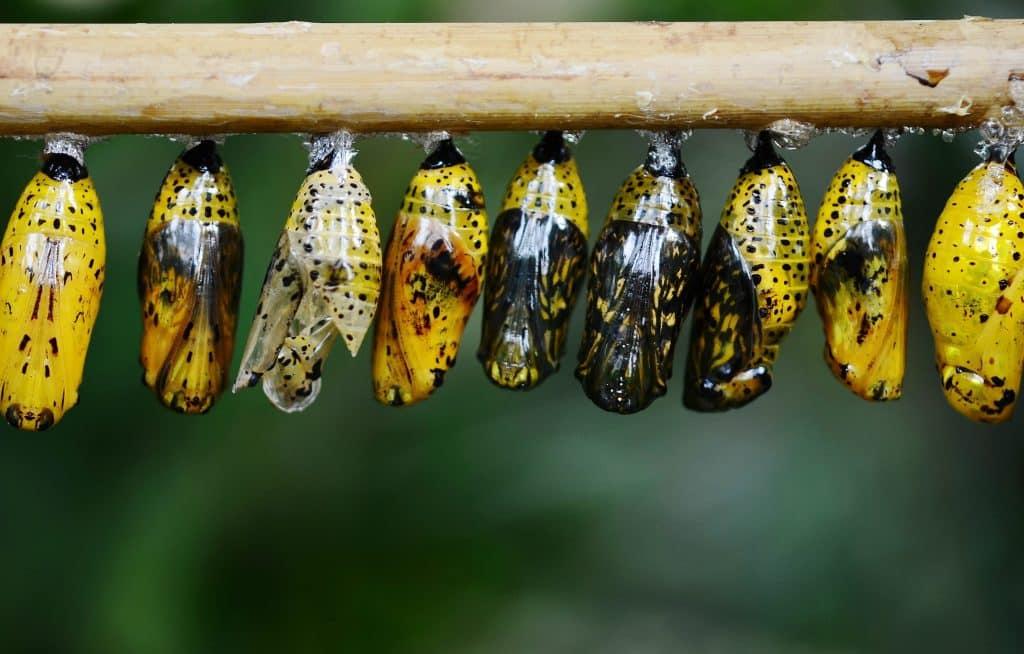 Processo de metamorfose de uma borboleta