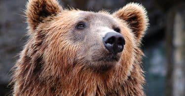 Foto do rosto de um urso