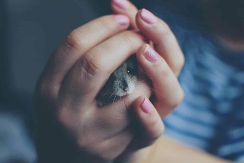Pequeno rato sendo segurado por mãos femininas.